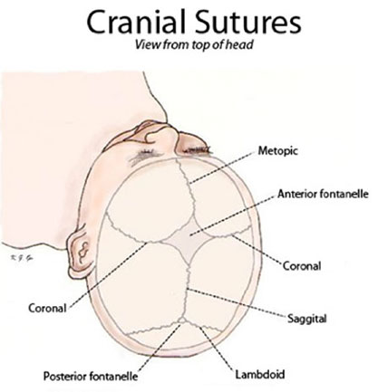 Drawing of Cranial Sutures viewed from top of head iwth labels